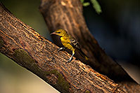 /images/133/2018-06-10-gv-oriole-viv1-5d4_11208.jpg - #14472: Female Oriole in Green Valley … June 2018 -- Green Valley, Arizona