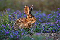 /images/133/2019-05-01-gv-bunnies-flowers-viv1-5d4_0245.jpg - #14605: Desert cottontail among spring flowers in Green Valley … May 2019 -- Green Valley, Arizona