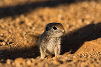 /images/133/2019-05-13-gv-creatures-viv1-5d4_3128.jpg - 14654: Baby Round Tailed Ground Squirrel in Green Valley … May 2019 -- Green Valley, Arizona