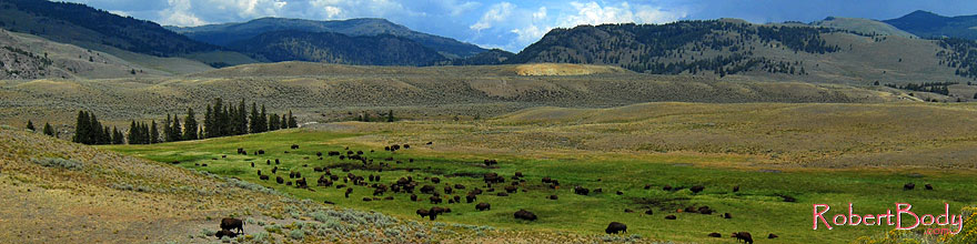 /images/500/2007-07-28-y-buff-3240-sp.jpg - #04541: Herd of over 200 Buffalo in Lamar Valley … July 2007 -- Lamar Valley, Yellowstone, Wyoming