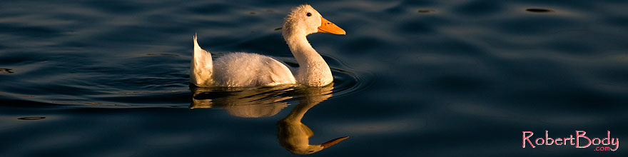 /images/500/2008-06-14-gilb-bgoos-2560s.jpg - #05559: Young white duck reflecting in a pond at Freestone Park … June 2008 -- Freestone Park, Gilbert, Arizona