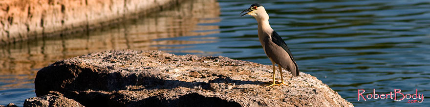 /images/500/2008-06-18-gilb-heron-5879s.jpg - #05515: Black Crowned Night Heron at Freestone Park … June 2008 -- Freestone Park, Gilbert, Arizona