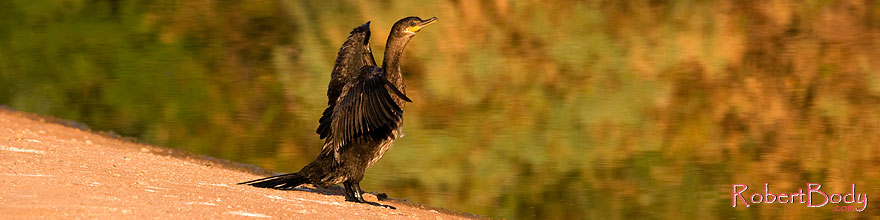 /images/500/2008-06-30-rip-corm-16202sp.jpg - #05595: Cormorant at Riparian Preserve … June 2008 -- Riparian Preserve, Gilbert, Arizona
