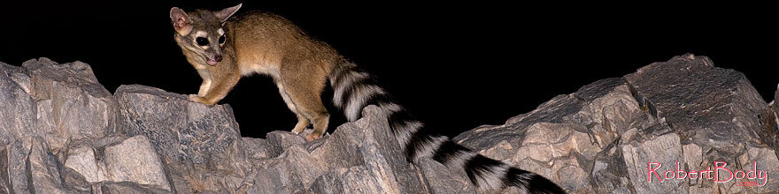 /images/500/2008-09-14-squaw-ringtail-26546sp.jpg - #05884: Ringtail at Squaw Peak … September 2008 -- Squaw Peak, Phoenix, Arizona