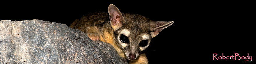 /images/500/2008-09-18-squaw-ringtail-28180sp.jpg - #05945: Ringtail at Squaw Peak … September 2008 -- Squaw Peak, Phoenix, Arizona