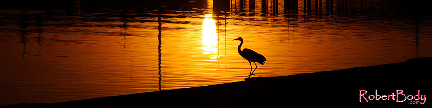 /images/500/2008-11-14-tempe-heron-46914sp.jpg - #06041: Great Blue Heron at sunset at Tempe Town Lake … November 2008 -- Tempe Town Lake, Tempe, Arizona
