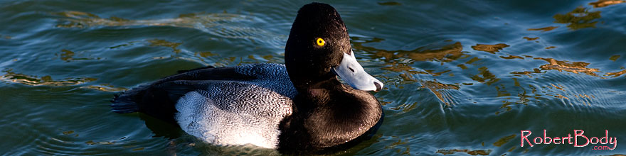 /images/500/2008-11-21-fountain-ducks-51101sp.jpg - #06190: Lesser Scaup (a Diving Duck) [male] at Fountain Hills lake … November 2008 -- Fountain Hills, Arizona