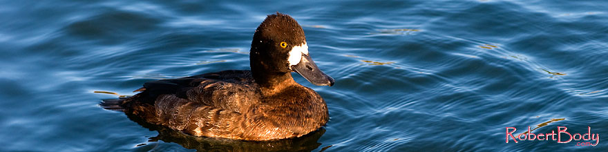/images/500/2008-11-21-fountain-ducks-51221sp.jpg - #06149: Lesser Scaup (a Diving Duck) [female] at Fountain Hills lake … November 2008 -- Fountain Hills, Arizona