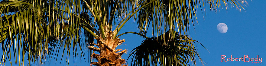 /images/500/2008-12-09-tempe-kiwanis-palms-60913sp.jpg - #06438: Palm Trees at Kiwanis Park … December 2008 -- Kiwanis Park, Tempe, Arizona