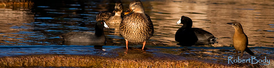 /images/500/2009-01-16-gilbert-free-ducks-76498sp.jpg - #06948: Mallard Ducks [female, center] and Great-tailed Grackle [right] at Freestone Park … January 2009 -- Freestone Park, Gilbert, Arizona