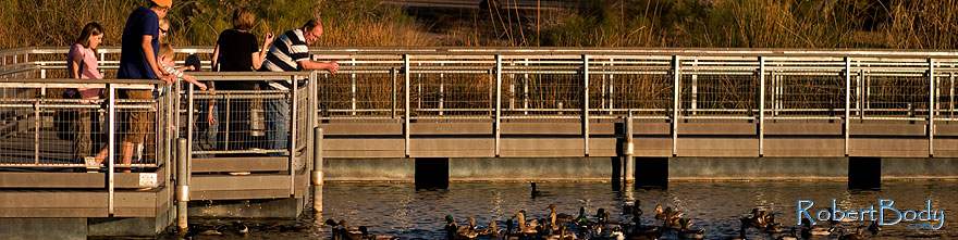 /images/500/2009-01-17-gilbert-rip-lake-76810sp.jpg - #06960: Ducks at Riparian Preserve … January 2009 -- Riparian Preserve, Gilbert, Arizona
