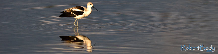 /images/500/2009-01-24-gilb-rip-avocets-78747sp.jpg - #06996: Avocet [in Winter plumage] at Riparian Preserve … January 2009 -- Riparian Preserve, Gilbert, Arizona