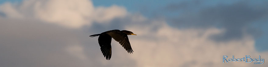 /images/500/2009-01-24-gilb-rip-corm-78706sp.jpg - #07039: Cormorant in flight at Riparian Preserve … January 2009 -- Riparian Preserve, Gilbert, Arizona