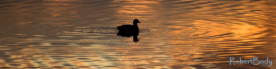 /images/500/2009-01-24-gilbert-rip-morning-78509sp.jpg - #06990: American Coot in the first light at Riparian Preserve … January 2009 -- Riparian Preserve, Gilbert, Arizona