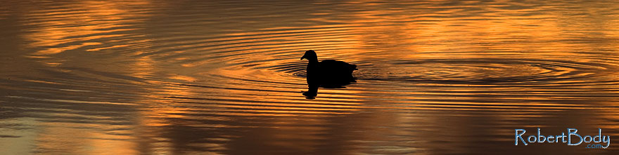 /images/500/2009-01-24-gilbert-rip-morning-78511sp.jpg - #06992: American Coot in the first light at Riparian Preserve … January 2009 -- Riparian Preserve, Gilbert, Arizona