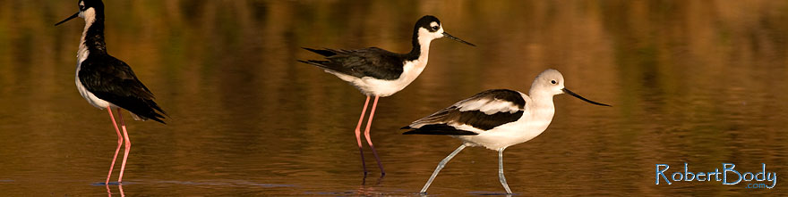 /images/500/2009-01-25-gilbert-rip-avocets-80085sp.jpg - #07012: Avocet [in Winter plumage] passing 2 Black Necked Stilts at Riparian Preserve … January 2009 -- Riparian Preserve, Gilbert, Arizona