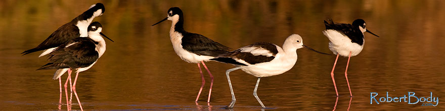 /images/500/2009-01-25-gilbert-rip-stilts-80081sp.jpg - #07034: Avocet among 4 Black Necked Stilts at Riparian Preserve … January 2009 -- Riparian Preserve, Gilbert, Arizona