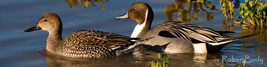 /images/500/2009-01-27-gilb-rip-ducks-81875sp.jpg - #07112: Northern Pintails couple at Riparian Preserve … January 2009 -- Riparian Preserve, Gilbert, Arizona