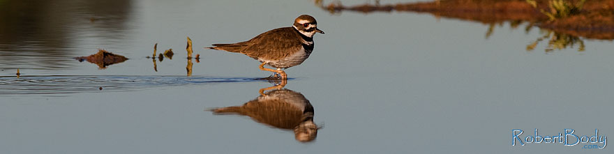 /images/500/2009-01-27-gilb-rip-killdeer-81763sp.jpg - #07118: Killdeer at Riparian Preserve … January 2009 -- Riparian Preserve, Gilbert, Arizona
