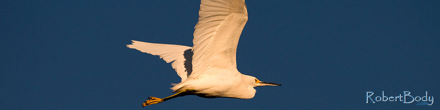 /images/500/2009-01-27-gilb-rip-snowy-81741sp.jpg - #07125: Snowy Egret in flight at Riparian Preserve … January 2009 -- Riparian Preserve, Gilbert, Arizona