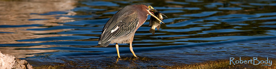 /images/500/2009-01-29-freestone-green-83241sp.jpg - #07140: Green Heron at Freestone Park … January 2009 -- Freestone Park, Gilbert, Arizona