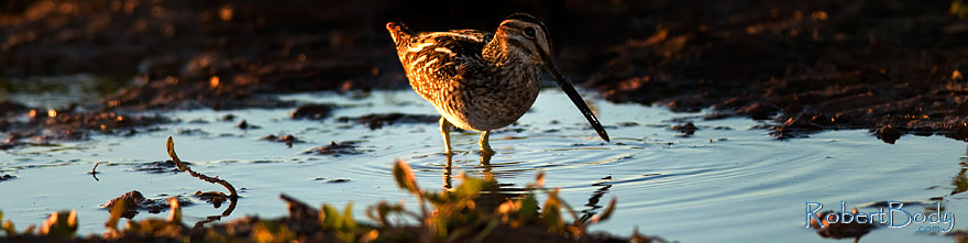 /images/500/2009-01-29-riparian-sandpiper-83604sp.jpg - #07144: Wilson`s Snipe at Riparian Preserve … January 2009 -- Riparian Preserve, Gilbert, Arizona