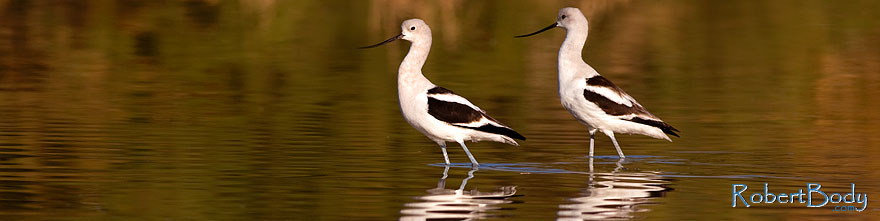 /images/500/2009-01-31-riparian-avocets-84867sp.jpg - #07149: Avocets at Riparian Preserve … January 2009 -- Riparian Preserve, Gilbert, Arizona