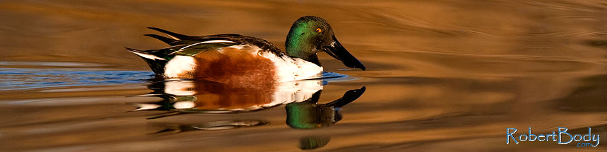/images/500/2009-01-31-riparian-shovelers-84520sp.jpg - #07157: Northern Shoveler at Riparian Preserve … January 2009 -- Riparian Preserve, Gilbert, Arizona