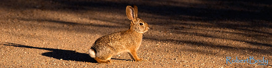 /images/500/2009-02-01-riparian-cottontail-86136sp.jpg - #07168: Desert Cottontail at Riparian Preserve … February 2009 -- Riparian Preserve, Gilbert, Arizona
