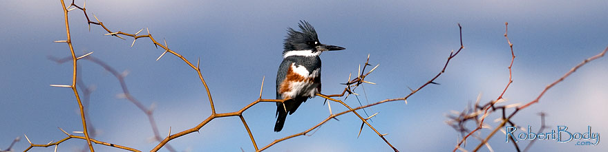 /images/500/2009-02-14-riparian-kingfisher-95178sp.jpg - #07299: Belted Kingfisher [female] at Riparian Preserve … February 2009 -- Riparian Preserve, Gilbert, Arizona