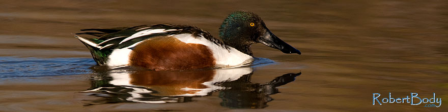 /images/500/2009-02-19-riparian-shovelers-98045sp.jpg - #07339: Northern Shoveler [male] at Riparian Preserve … February 2009 -- Riparian Preserve, Gilbert, Arizona