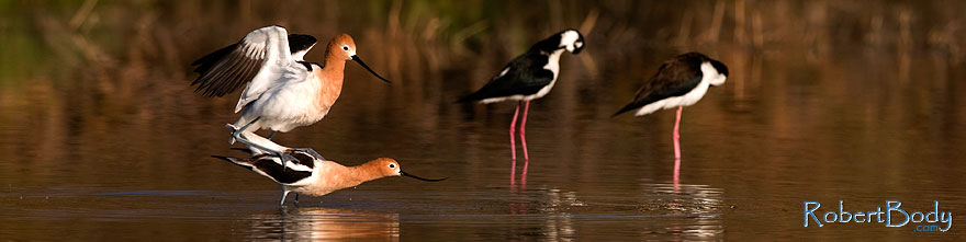 /images/500/2009-02-25-riparian-avocets-99270sp.jpg - #07323: American Avocets mating at Riparian Preserve … February 2009 -- Riparian Preserve, Gilbert, Arizona