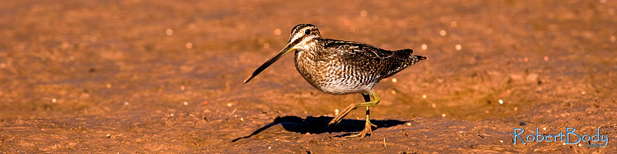 /images/500/2009-02-27-riparian-snipes-100227sp.jpg - #07355: Wilson`s Snipe at Riparian Preserve … February 2009 -- Riparian Preserve, Gilbert, Arizona