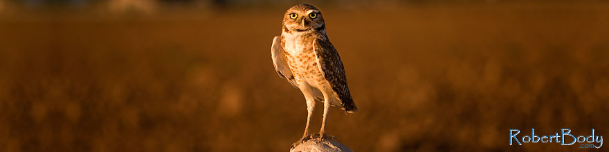 /images/500/2009-07-06-queen-owl-105443sp.jpg - #07470: Burrowing Owl in Queen Creek … July 2009 -- Queen Creek, Arizona