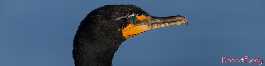 /images/500/2014-01-05-lajolla-cormor-1x_23189sp.jpg - #11518: Double Crested Cormorant in La Jolla, California … January 2014 -- La Jolla, California