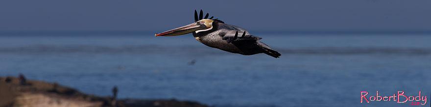 /images/500/2014-01-05-lajolla-pelicans-1x_23660sp.jpg - #11534: Pelican in flight in La Jolla, California … January 2014 -- La Jolla, California