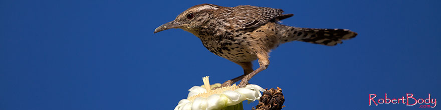 /images/500/2014-05-23-supers-wren-5d3_0273sp.jpg - #11790: Cactus Wren on top of a Saguaro Flower in Superstitions … May 2014 -- Superstitions, Arizona
