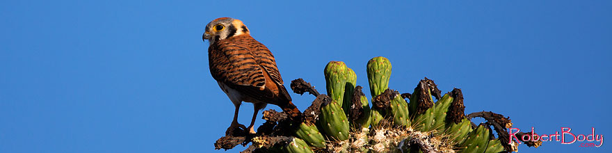 /images/500/2014-05-26-supers-kestrel-5d3_2219sp.jpg - #11800: American Kestrel female in Superstitions … May 2014 -- Superstitions, Arizona
