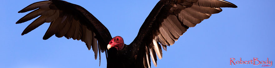 /images/500/2014-06-03-supers-vultures-5d3_7647sp.jpg - #11843: Turkey Vulture in Superstitions … June 2014 -- Superstitions, Arizona