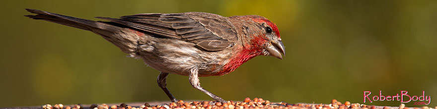 /images/500/2014-07-20-tucson-birds-1dx_2804sp.jpg - #12160: Male House Finch in Tucson … July 2014 -- Tucson, Arizona